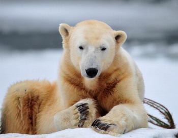 Белый медведь Кнут умер в Берлинском зоопарке. Фото: JOHANNES EISELE/AFP/Getty Images