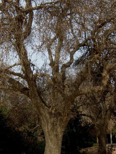 С Таней Шиммель по ботаническому Иерусалиму. Fraxinus syriaca.  Фото: Хава ТОР. Великая Эпоха (The Epoch Times)