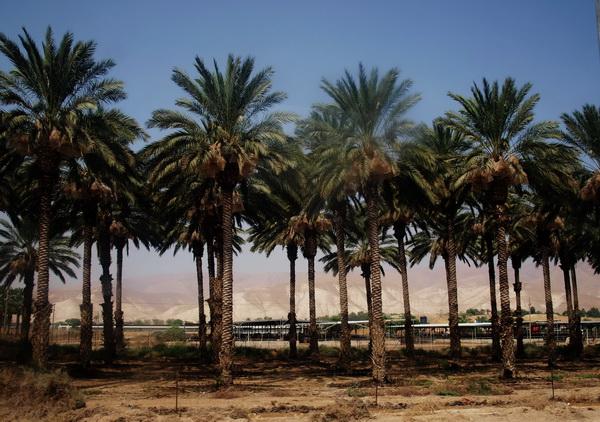 От Иерусалима до Афулы через Иорданскую долину. Иорданская долина, пальмовые рощи. Фото: Хава ТОР/Великая Эпоха