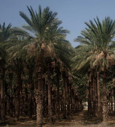 От Иерусалима до Афулы через Иорданскую долину. Финиковые пальмы Иорданской долины. Фото: Хава ТОР/Великая Эпоха