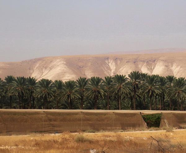 От Иерусалима до Афулы через Иорданскую долину. Иорданская долина, пальмовые плантации. Фото: Хава ТОР/Великая Эпоха
