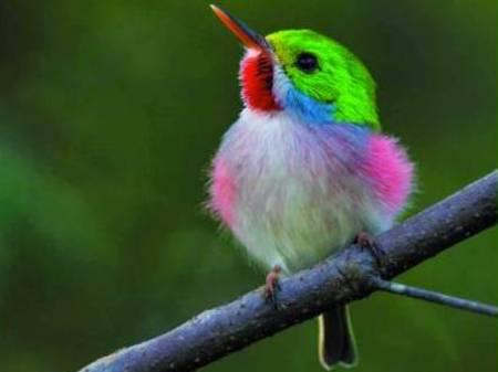 Обжора: тут вы видите опасного хищника. Редакция не перепутала фото. Эта крошечная птица успешный охотник и действительно ест больше всех птиц в мире. Наверняка сейчас она присматривает новую жертву. Многоцветный тоди называют маленьким обжорой. Фото: Lee Dalton/NHPA