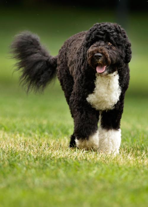 Собака семьи Обама по кличке Бо 2 августа 2010 года. Фото: Chip Somodevilla / Getty Images