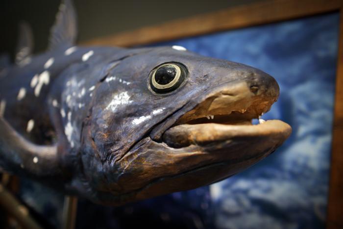 Целакант, вымер 200-300 млн. лет назад. Фото: Peter Macdiarmid/Getty Images