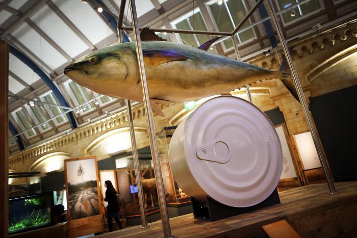 Синий тунец, находится на грани вымирания. Фото: Peter Macdiarmid/Getty Images
