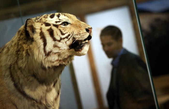 Чучело вымирающего вида тигров. Фото: Peter Macdiarmid/Getty Images