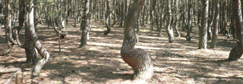 Танцующий лес Балтики. Фото: Елена Захарова/Великая Эпоха (The Epoch Times)