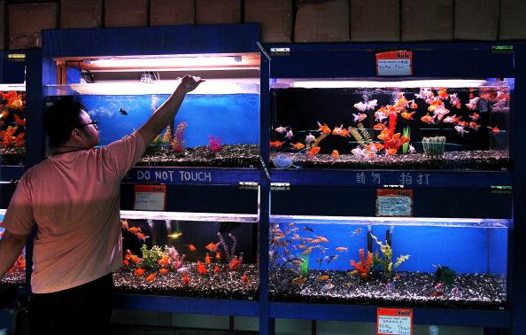 Золотые рыбки. Фото: Justin Sullivan/Getty Images