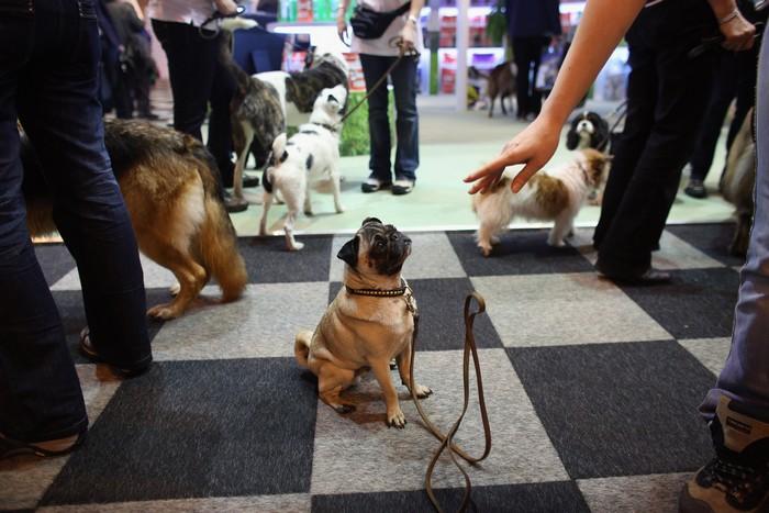 Собаки и их хозяева прибыли на ежегодное шоу Crufts в Бирмингеме 7 марта 2013 г. Фото: Oli Scarff/Getty Images