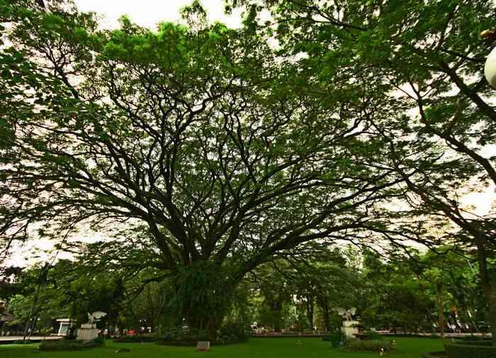 Тропическое дерево в парке. Остров Ява, Индонезия. Фото: Сима Петрова/Великая Эпоха (The Epoch Times)