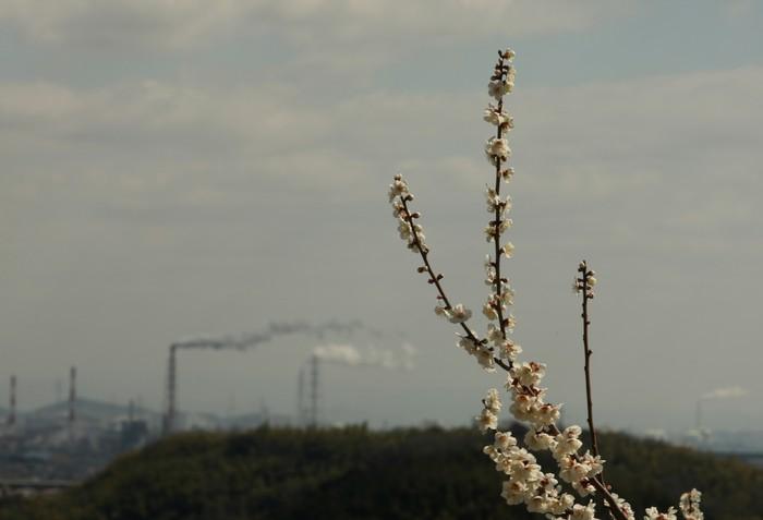 На горе Аябэ в Японии расцвели сливы 14 марта 2013 г. Фото: Buddhika Weerasinghe/Getty Images