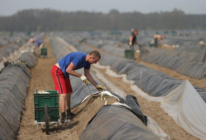 Сезон сбора спаржи начался в регионе Белиц в федеральной земле Бранденбург в Германии. 26 апреля 2013 г. Фото: Sean Gallup/Getty Images