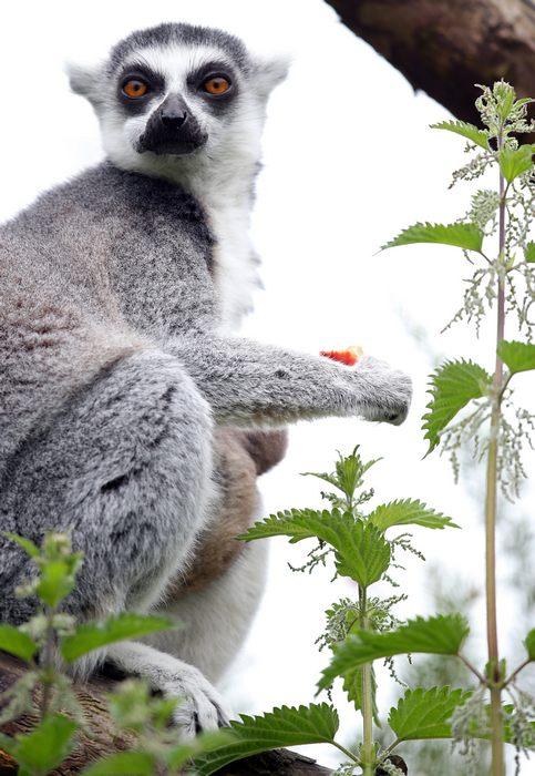 В зоопарке Бристоля родился маленький лемур. Фото: Matt Cardy/Getty Images