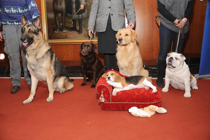 Самые популярные собаки США на пресс-конференции клуба собаководов в Нью-Йорке, 30 января 2013 года. Фото: Gary Gershoff/Getty Images for the American Kennel Club