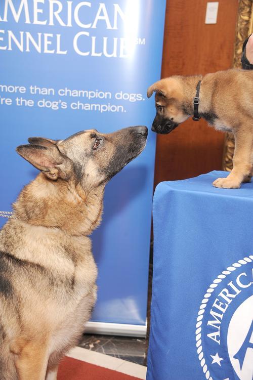 Две немецкие овчарки Командир и Цунами на пресс-конференции клуба собаководов в Нью-Йорке, 30 января 2013 года. Фото: Gary Gershoff/Getty Images for the American Kennel Club