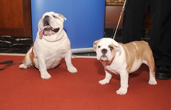 Бульдоги Мунк (Л) и Доминик (П) на пресс-конференции клуба собаководов в Нью-Йорке, 30 января 2013 года. Фото: Gary Gershoff/Getty Images for the American Kennel Club