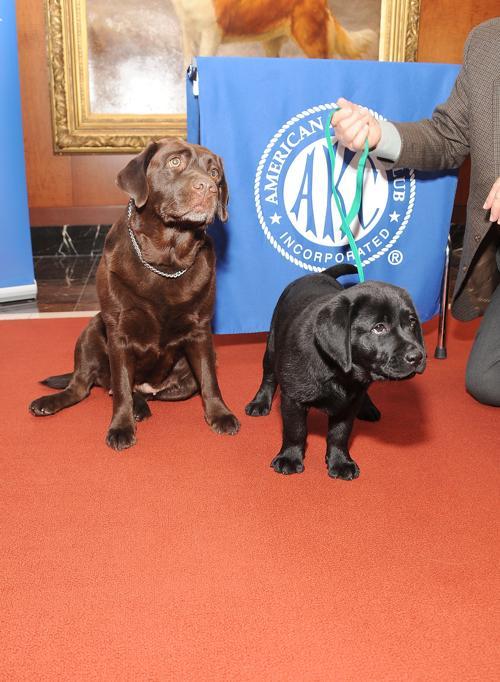 Два лабрадора Шаяна и Ася на пресс-конференции клуба собаководов в Нью-Йорке, 30 января 2013 года. Фото: Gary Gershoff/Getty Images for the American Kennel Club