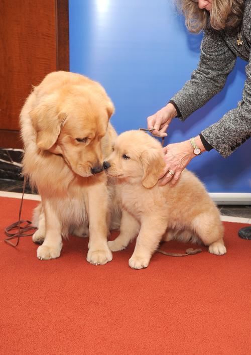 Два голден-ретривера Майор (Л) и Гиббс (П) на пресс-конференции клуба собаководов в Нью-Йорке, 30 января 2013 года. Фото: Gary Gershoff/Getty Images for the American Kennel Club