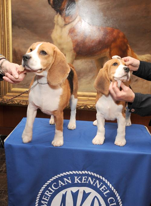 Бигли Макс (Л) и Шило (П) на пресс-конференции клуба собаководов в Нью-Йорке, 30 января 2013 года. Фото: Gary Gershoff/Getty Images for the American Kennel