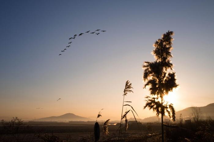 Дикие гуси в Пханджу недалеко от ДМЗ. Фото: Джерод ХОЛЛ