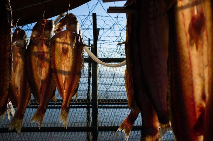 Рыба сушится рядом с оградой из колючей проволоки. Фото: Джерод ХОЛЛ