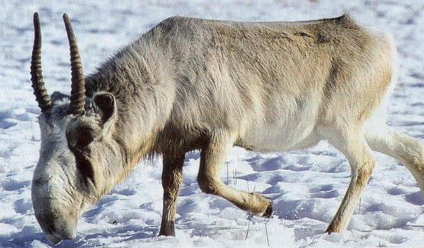 Сайгак зимой. Фото предоставлено Иваном Смирновым