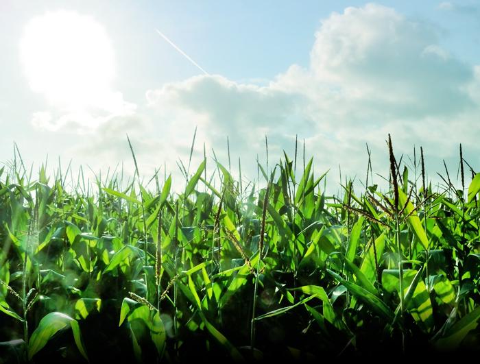 В следующем году, согласно постановлению Правительства РФ № 839, в нашей стране начнётся регистрация семян ГМО. Фото: PHILIPPE HUGUEN/AFP/GettyImages