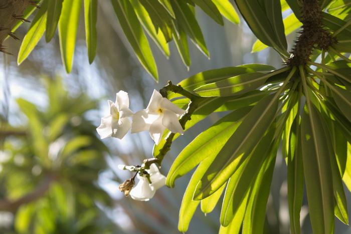 «Толстая нога» или пальма Мадагаскара. В Райском саду посёлка Эйн Геди. Фото: Хава Тор/Великая Эпоха (The Epoch Times