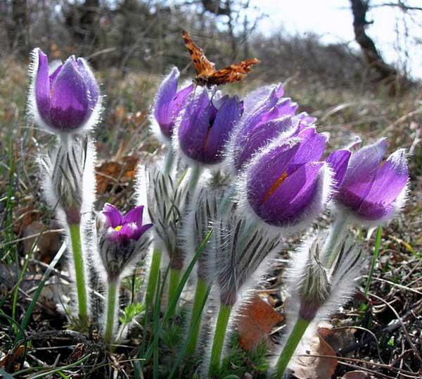Крым. Цветение сон-травы. Фото: Алла Лавриненко/Великая Эпоха
