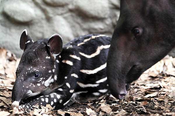 Тапиры — лесные животные, любящие воду, хотя часто живут в лесах на суше. Фото: Getty Images