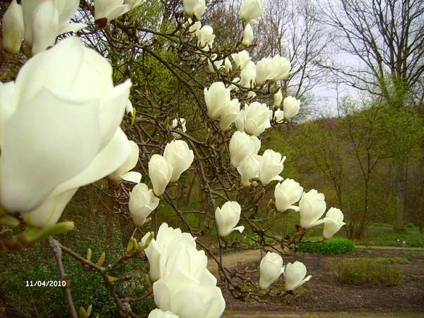 Магнолия. Ботанический сад Рурского университета Бохум. Фото: Сергей Ярош.