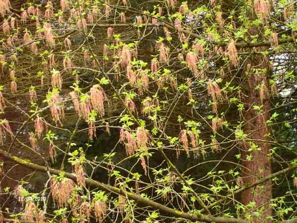 Разновидность клена. Ботанический сад Рурского университета Бохум. Фото: Сергей Ярош.