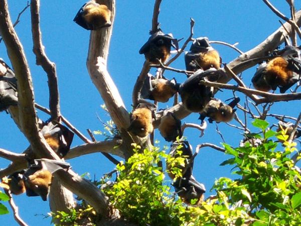 Австралия. Летучие лисицы, как их называют местные жители.  Фото: Евгений Добрыгин