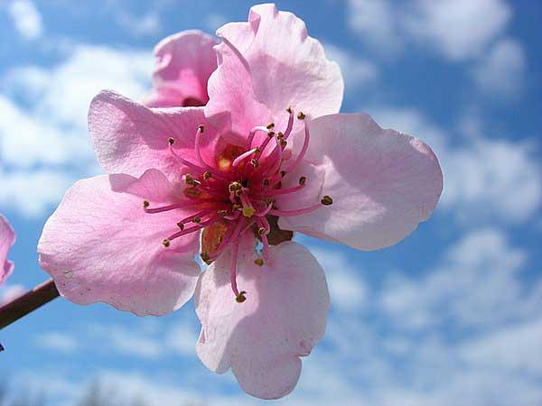 Крым. Цветение персикового дерева. Фото: Алла Лавриненко/Великая Эпоха