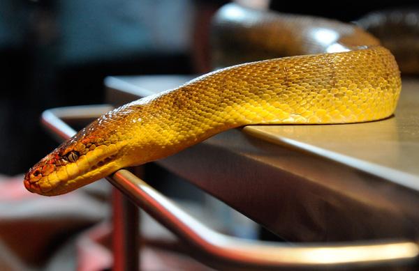 Змея, которая будет в стеклянном ящике вместе с Шульцем. Фото: Ethan Miller/Getty Images