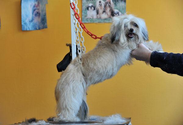 Красота домашних животных тоже требует жертв… Фото: Pascal Le Segretain/Getty Images