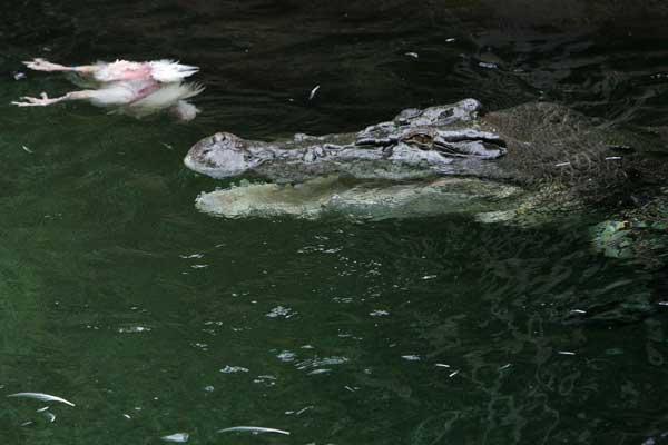 Королевский австралийский крокодил. Охота на курицу.  Фото:  Lisa Maree Williams/ Getty Images