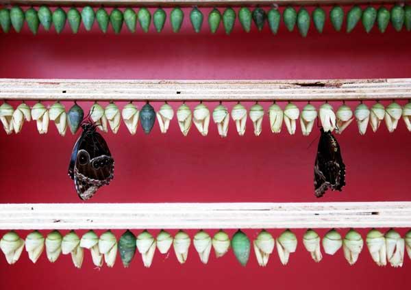 Бабочки появляются из своих куколок. Фото: Dan Kitwood/Getty Images