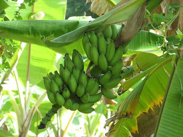 Бананы – на дереве и на базаре.  Фото: Татьяна Виноградова/Великая Эпоха