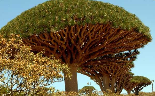 Дерево «Кровь дракона». Фото: KHALED FAZAA/AFP/Getty Images