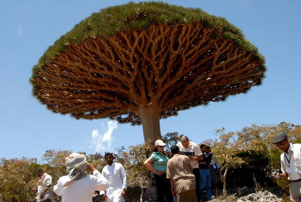 Йеменцы и иностранные туристы осматривают экземпляр дерева «Кровь дракона». Фото: KHALED FAZAA/AFP/Getty Images