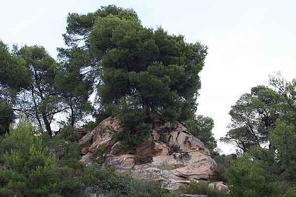 Пинии, непритязательно растущие на камнях. Халкидики. Фото: Сима Петрова/Великая Эпоха