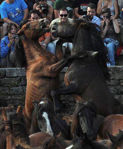 Дикие лошади с характером. Фото: Denis Deule/Getty Images