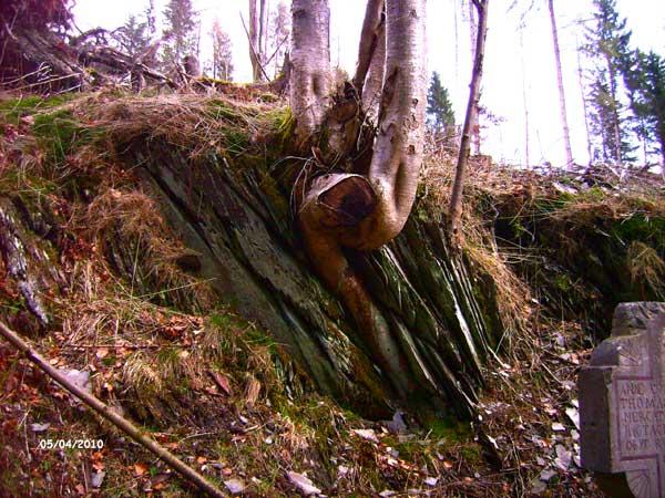 Дерево, растущее из камня. Зауэрланд. Фото: Сергей Ярош.