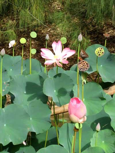 Лотос - национальный цветок Индии. Фото: Татьяна Виногградова/Великая Эпоха