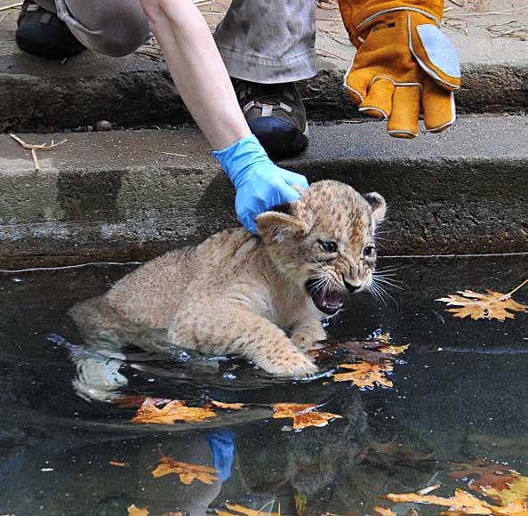Сотрудник Национального зоопарка в Вашингтоне опускает львенка в ров с водой, окружающий остров обитания львов. Фото: KAREN BLEIER/AFP/Getty Images