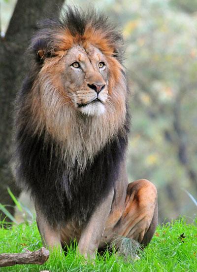 Благородный отец львиного семейства. Фото: KAREN BLEIER/AFP/Getty Images