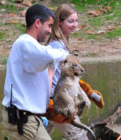 Сотрудник Национального зоопарка в Вашингтоне несет мокрого львенка после купания. Фото: KAREN BLEIER/AFP/Getty Images