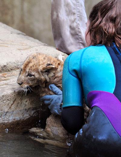 Сотрудник Национального зоопарка в Вашингтоне вытаскивает львенка из воды. Фото: KAREN BLEIER/AFP/Getty Images