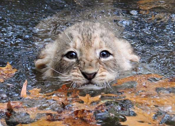 Львята проходят испытания на умение плавать. Фото: KAREN BLEIER/AFP/Getty Images